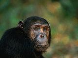 Portrait of a Chimpanzee (Pan Troglodytes), Mahale Mountains National Park, Kigoma, Tanzania Photographic Print by Ariadne Van Zandbergen