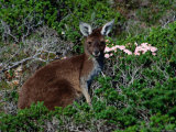 Western Grey Kangaroo (Macropus Fuliginosus) Feeding on Flowering Heath, Australia Photographic Print by Mitch Reardon