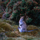 Bennett's Wallaby with Joey, Cradle Mountain-Lake St. Clair National Park, Australia Photographic Print by Wes Walker