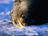 Male Weddell Seal Rolling on Ice, Weddell Sea, Antarctica Photographic Print by David Tipling