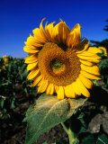 Sunflower Detail, Geelong, Victoria, Australia Photographic Print by Christopher Groenhout