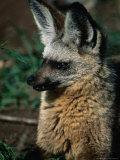 Bat-Eared Fox (Octocyon Megalotis), Serengeti National Park, Tanzania Photographic Print by Ariadne Van Zandbergen