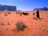 Bedouin Woman Herding Flock of Sheep and Goats Between, Wadi Rum National Reserve, Jordan Fotografiskt tryck av Mark Daffey