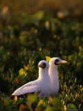 Pair of Masked Boobys (Sula Dactgylatra)Nesting, Cayos Cochinos, Islas De La Bahia, Honduras Photographic Print by Ralph Lee Hopkins