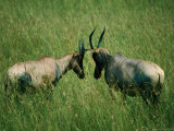 Jousting Topis (Damaliscus Lunatus) in Grass, Masai Mara National Reserve, Kenya Photographic Print by David Wall