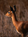Steenbok in Portrait, Kruger National Park, Kruger National Park, Mpumalanga, South Africa Photographic Print by Carol Polich