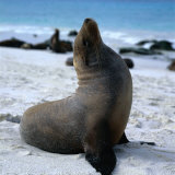 A Bull Sea Lion in Gardiner Bay, Isla Espanola, Galapagos, Ecuador Photographic Print by Wes Walker