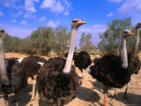 Blue-Necked Ostriches at Shaumari Wildlife Reserve, Azraq, Amman, Jordan Photographic Print by Mark Daffey