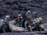 Marine Iguanas (Amblyrhynchus Cristatus) in Ventilation Position, Punta Espinosa, Ecuador Photographic Print by Richard I&#39;Anson