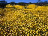 Desert Annual Wildflowers After Rain, Kalbarri National Park, Australia Photographic Print by Mitch Reardon