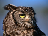 Spotted Eagle Owl (Bubo Africanus), South Africa Photographic Print by Carol Polich