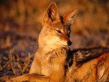 Black-Backed Jackal (Canis Mesomelas), Hwange National Park,Matabeleland North, Zimbabwe Photographic Print by Carol Polich