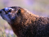 Yellow-Bellied Marmot in the Upper Geyser Basin, Yellowstone National Park, Wyoming, USA Photographic Print by Lawrence Worcester