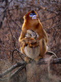 Golden Monkey (Presbytis Geei) Mother and Baby in a Wildlife Reserve Near Beijing, Beijing, China Photographic Print by Keren Su