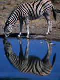 Burchell's Zebra Drinking at Water-Hole, Etosha National Park, Kunene, Namibia Photographic Print by Carol Polich
