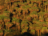 Forest of Cactus Trees (Euphorbia Sp) Covering Southern Slopes, Lake Naivasha, Kenya Photographic Print by Anders Blomqvist