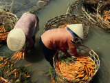 Women Washing Carrots in River Water Da Lat, Lam Dong, Vietnam Fotodruck von Glenn Beanland