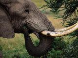 A Bull Elephant (Loxodonta Africana), Matusadona National Park, Mashonaland West, Zimbabwe Photographic Print by Mitch Reardon