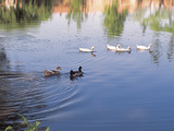 Ducks on Calm Water Photographic Print