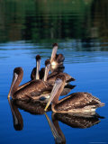 Brown Pelican (Pelecanus Occidentalis), Costa Rica Photographic Print by Alfredo Maiquez