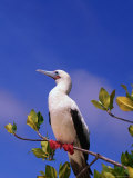 Red-Footed Booby Above the Mangroves, Galapagos, Ecuador Photographic Print by Ralph Lee Hopkins