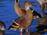 Plumed Whistling Ducks (Dendrocygna Eytoni), Lakefield National Park, Queensland, Australia Photographic Print by Mitch Reardon