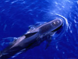 Short-Finned Pilot Whale (Globicephala Macrorhynchus), Panama Photographic Print by Ralph Lee Hopkins