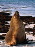 Australian Sea Lion (Neophoca Cinerea) on Beach at Seal Bay, Kangaroo Island, Australia Photographic Print by Barnett Ross