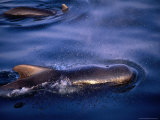 Short-Finned Pilot Whale (Globicephala Macrorhynchus) in the Gulf of Panama Ocean, Panama Photographic Print by Ralph Lee Hopkins