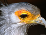Portrait of Secretary Bird (Sagittarius Serpentarius), Zimbabwe Photographic Print by David Wall