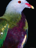 Wompoo Fruit Dove (Ptilinopus Magnificus), Iron Range National Park, Queensland, Australia Photographic Print by Mitch Reardon