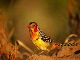 Red and Yellow Barbet on a Termite Mound, Tarangire National Park, Arusha, Tanzania Photographic Print by Ariadne Van Zandbergen