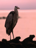 Great Blue Heron Among Gguanas, Galapagos, Ecuador Photographic Print by Ralph Lee Hopkins