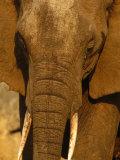 Elephant (Loxodonta Africana), Tarangire National Park, Tanzania Photographic Print by Ariadne Van Zandbergen