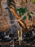 Bush Thick-Knee (Burhinus Grallarius), Kakadu National Park, Australia Photographie par Mitch Reardon
