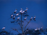 White Pelican (Pelecanus Onocratalus), Lake Manyara National Park, Arusha, Tanzania Photographic Print by Lawrence Worcester