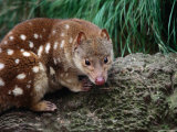 Spotted-Tailed Quoll (Dasyurops Maculatus), Cradle Mountain-Lake St. Clair NP, Tasmania, Australia Photographic Print by Mitch Reardon