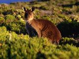 Western Grey Kangaroo Flinders Chase National Park, Kangaroo Island, Australia Photographic Print by Barnett Ross