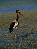 Saddle-Billed Stork Standing Amongst Reeds in Lake, Lake Ziway, Ethiopia Photographic Print by Frances Linzee Gordon