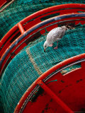 Gull Pecking at Fishing Net at Le Guilvenic, Brittany, France Photographic Print by Diana Mayfield