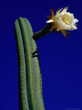 Flowering Cactus Plant,Ensenada, Mexico Photographic Print by Richard Cummins