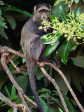 The Blue or Syke's Monkey (Cercopithecus Mitis), Ngorongoro Conservation Area, Arusha, Tanzania Photographic Print by Mitch Reardon