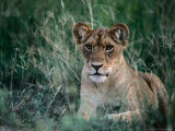 Lion Cub, Looking at Camera, Murchison Falls National Park, Uganda Photographic Print by Ariadne Van Zandbergen