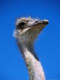 Ostrich (Struthio Camelus), USA Fotografisk tryk af Mark Newman