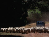 Truck Herding Sheep, Tasmania, Australia Photographic Print by John Hay
