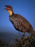 Yellow Necked Spurfowl (Francolinus Leucoscepus), Samburu National Reserve, Rift Valley, Kenya Photographic Print by Mitch Reardon