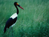 A Saddlebilled Stork (Ephippiorhynchus Senegalensis) Matabeleland North, Zimbabwe Photographic Print by Mitch Reardon