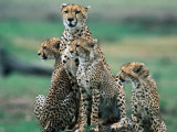 Cheetahs (Acinonyx Jubatus), Masai Mara National Reserve, Rift Valley, Kenya Fotografisk tryk af Mark Newman