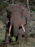 Elephant (Loxodonta Africana) Bull Eating Acacia, Mana Pools Nat. Park, Mashonaland West, Zimbabwe Photographic Print by Mitch Reardon