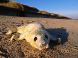 Grey Seal (Halichoerus Grypus) New Born Pup, United Kingdom Photographic Print by David Tipling